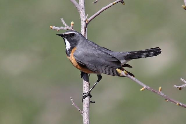 White-throated Robin