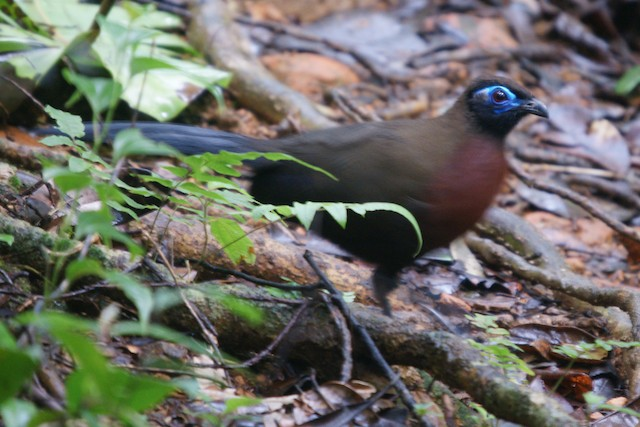 Red-breasted Coua