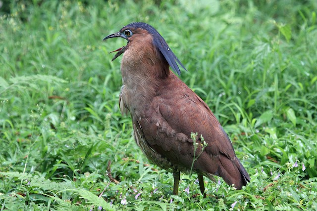 Malayan Night-Heron