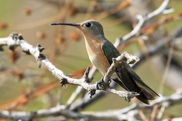 Buffy Hummingbird