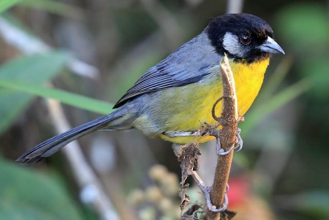 Santa Marta Brushfinch