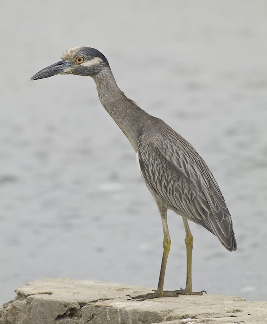 Yellow-crowned Night-Heron (Yellow-crowned)