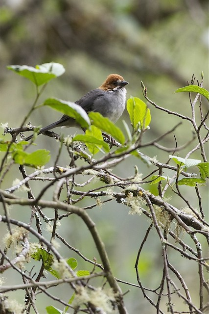 Rufous-eared Brushfinch