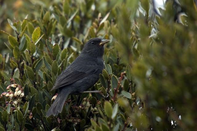 Peg-billed Finch