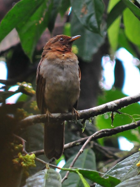 Rufous-brown Solitaire (Chestnut-throated)