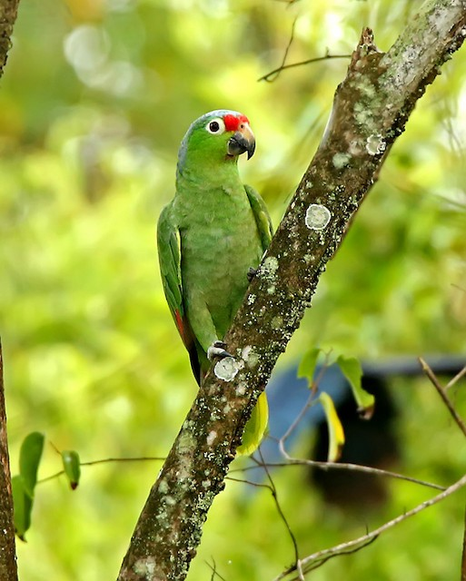 Red-lored Parrot (Salvin's)