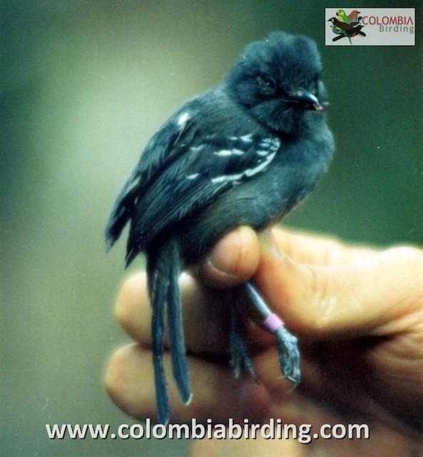 Parker's Antbird