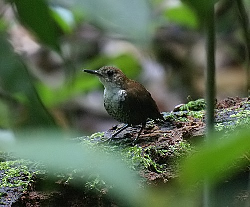 Scaly-breasted Wren (Scaly)