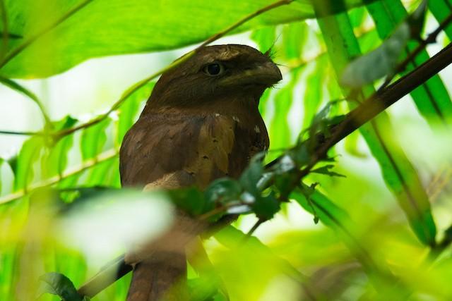 Sri Lanka Frogmouth