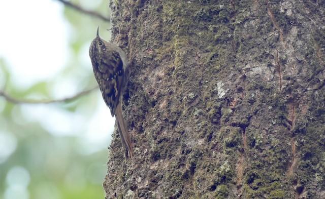 Sikkim Treecreeper
