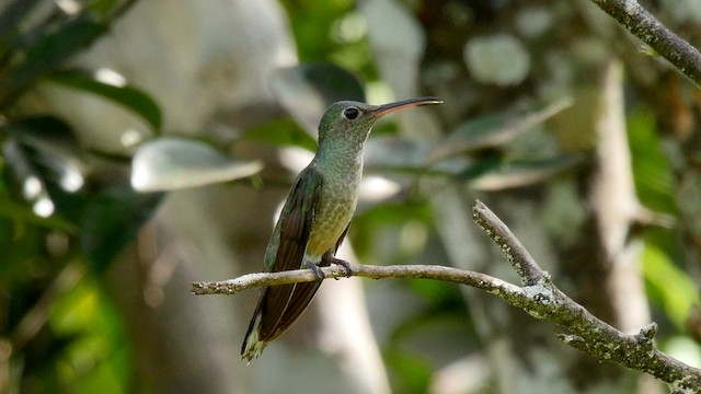Scaly-breasted Hummingbird (Cuvier's)