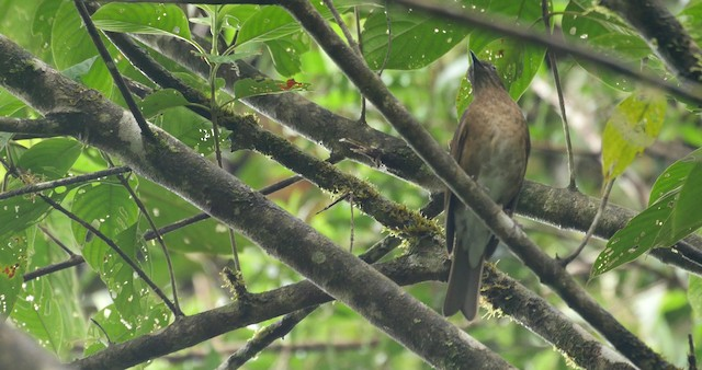 Pale-vented Thrush
