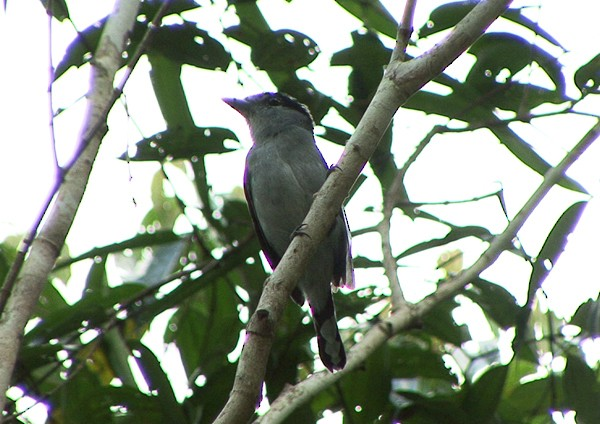 Black-capped Becard