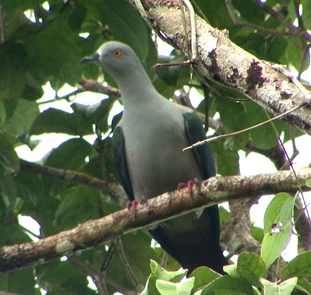 Spice Imperial-Pigeon (Gray-naped)