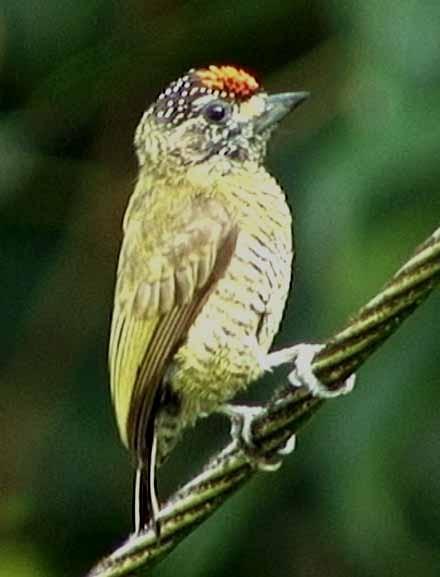 Golden-spangled Piculet (Pernambuco)