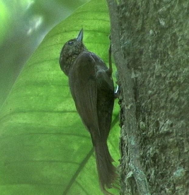 Wedge-billed Woodcreeper (pectoralis Group)