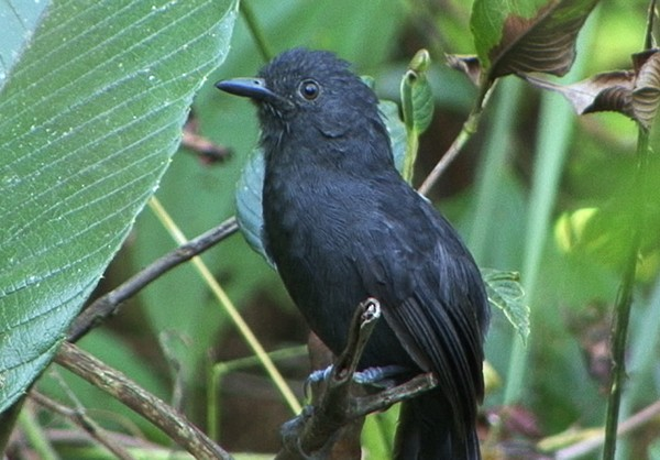 Blackish Antbird