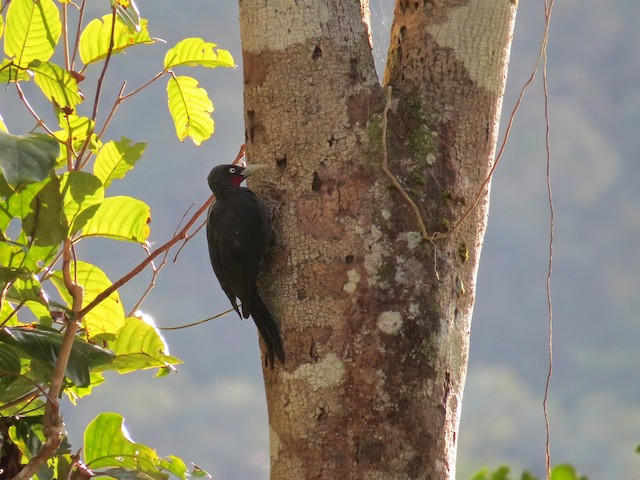 Southern Sooty-Woodpecker