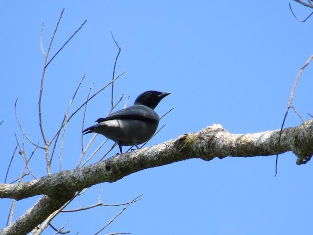 Black-bibbed Cuckooshrike