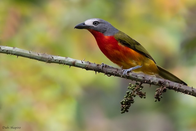 Fiery-breasted Bushshrike