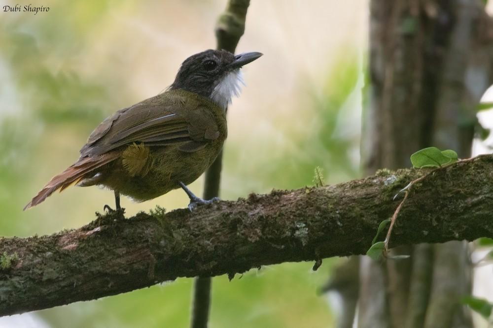 Red-tailed Greenbul - Dubi Shapiro