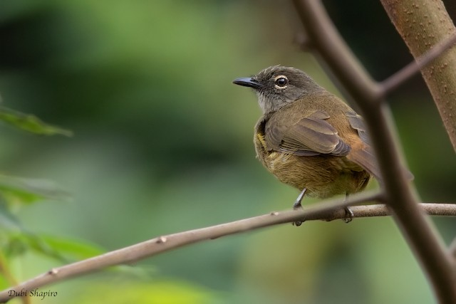 Gray Greenbul