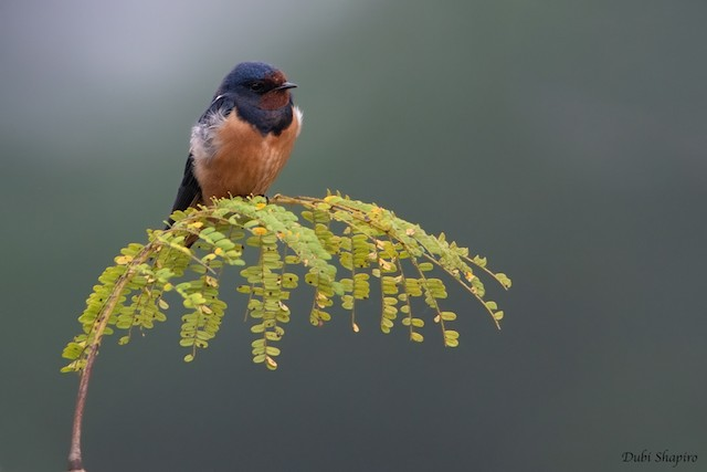 Barn Swallow (White-bellied)