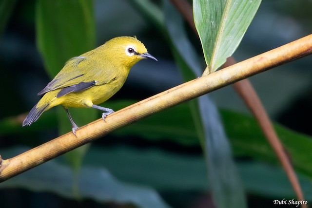 African Yellow White-eye (Forest)