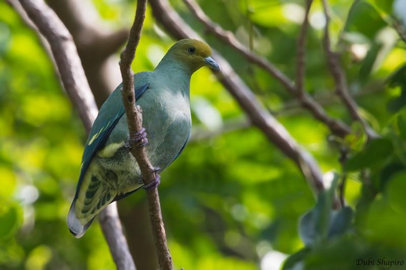 Tanna Fruit-Dove - Dubi Shapiro