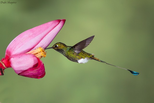 Booted Racket-tail (White-booted)