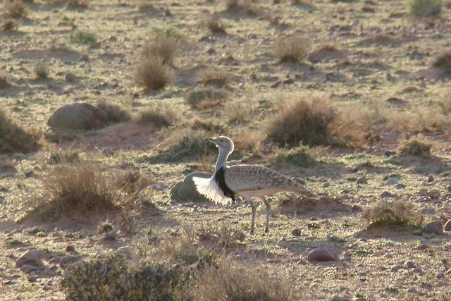 Houbara Bustard (North African)