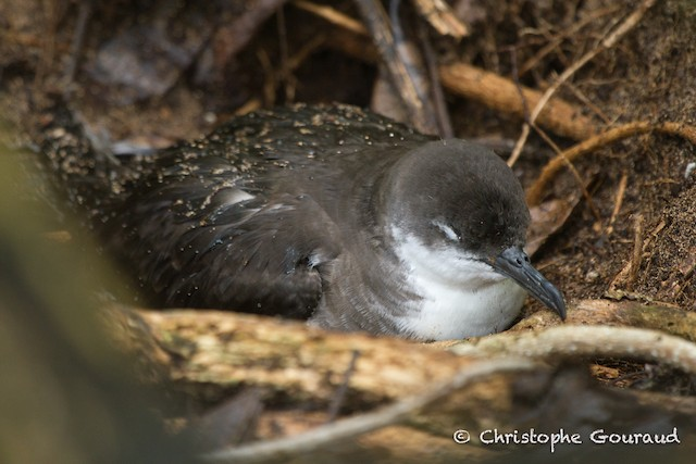 Tropical Shearwater (Indopacific)