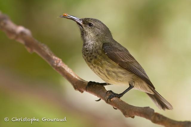 Souimanga Sunbird (Abbott's)