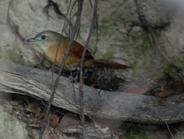 White-lored Spinetail (White-lored)