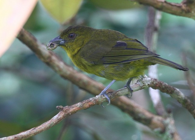 Carmiol's Tanager (Carmiol's)
