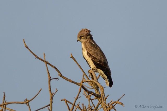 Beaudouin's Snake-Eagle