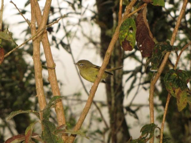 Greenish Tyrannulet