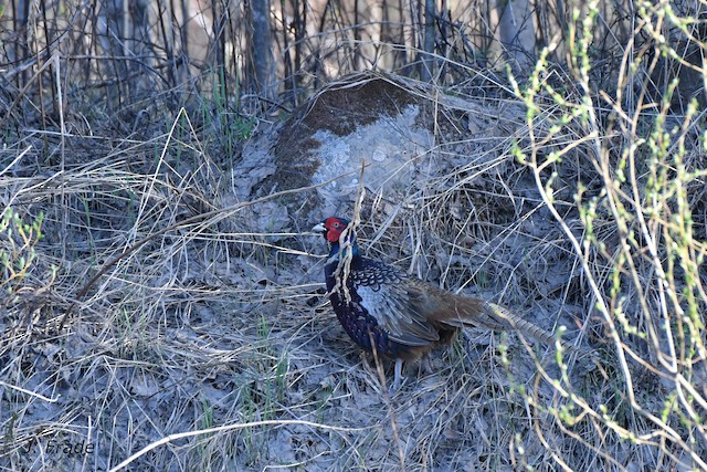 Ring-necked Pheasant (Ring-necked)
