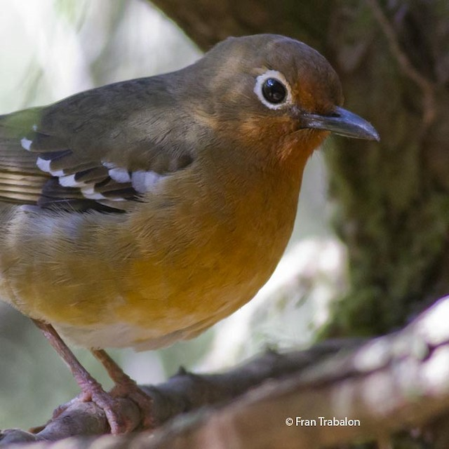 Abyssinian Ground-Thrush (Abyssinian)