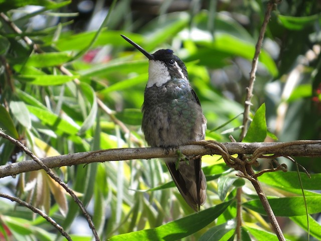 White-throated Mountain-gem (Gray-tailed)