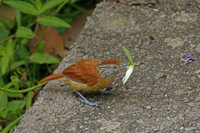Barred Antshrike (Barred)