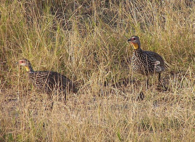 Yellow-necked Francolin