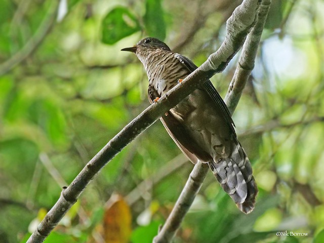 Olive Long-tailed Cuckoo