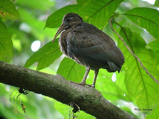 Sao Tome Ibis