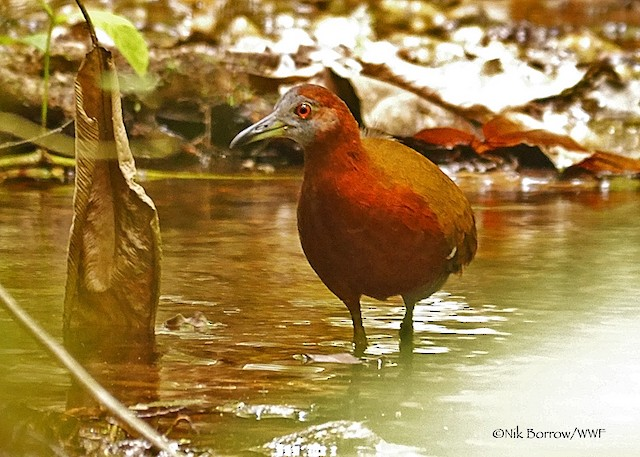 Gray-throated Rail