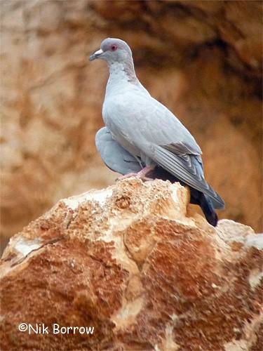 Somali Pigeon - Nik Borrow