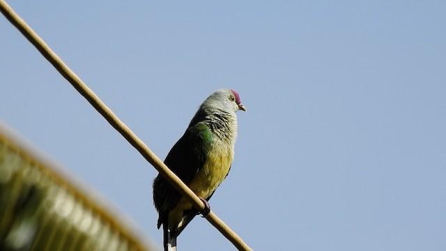 Cook Islands Fruit-Dove