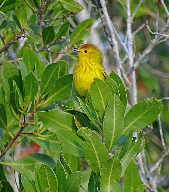 Yellow Warbler (Golden)