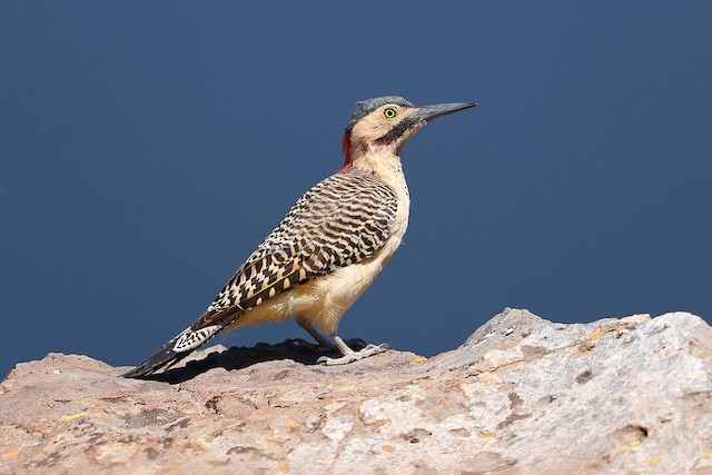 Andean Flicker (Southern)