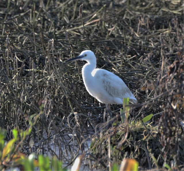 Little Egret (Western)
